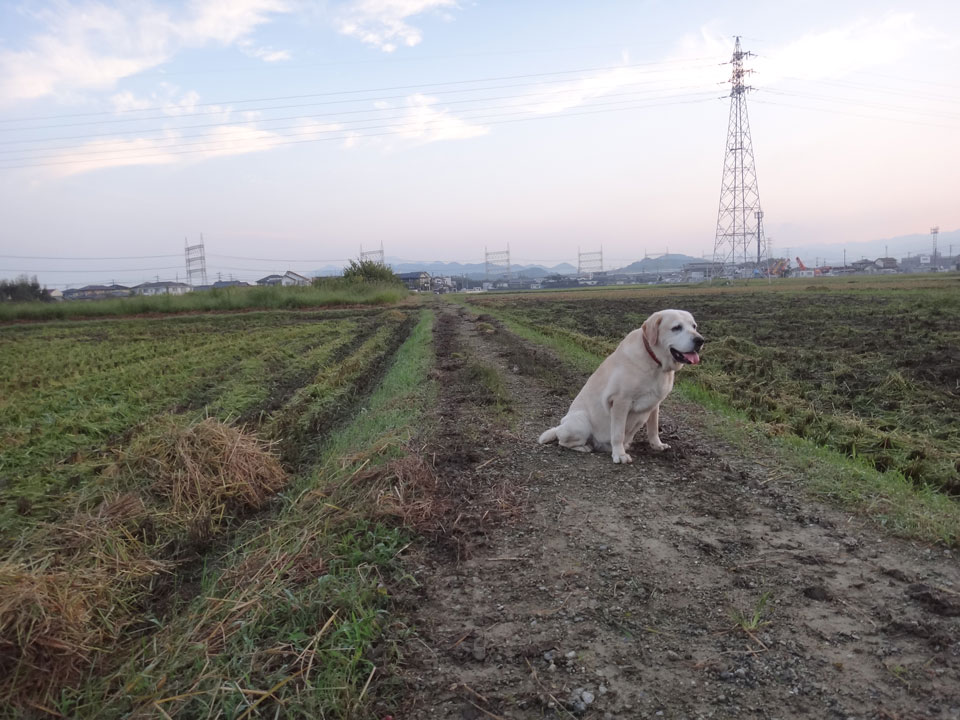 株式会社日食 愛犬ナナ ゴールデン ラブラドール レトリバー お散歩