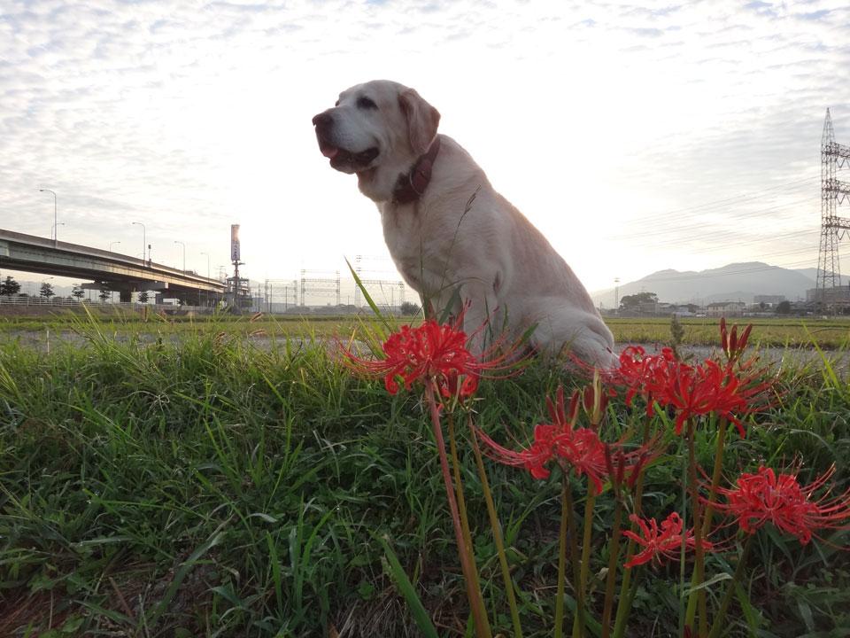 株式会社日食 愛犬ナナ ゴールデン ラブラドール レトリバー お散歩 彼岸花