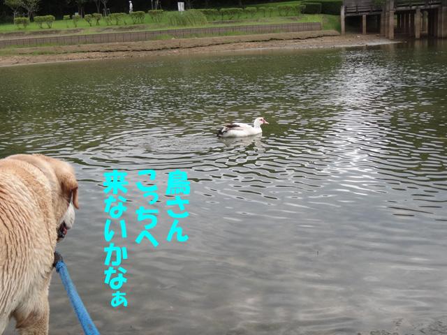 株式会社日食 愛犬ナナ ゴールデン ラブラドール レトリバー お散歩 福岡県糟屋郡粕屋町 駕与丁公園(かよいちょうこうえん)