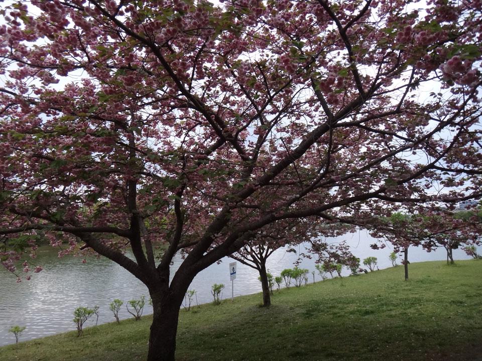 株式会社日食 駕与丁公園(かよいちょうこうえん) 福岡県粕屋郡 粕屋町 八重桜
