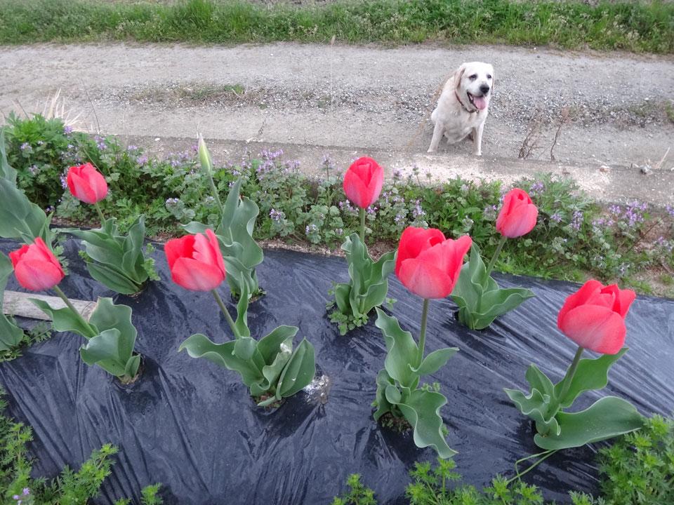株式会社日食 愛犬ナナ ゴールデン ラブラドール レトリバー お散歩 チューリップ