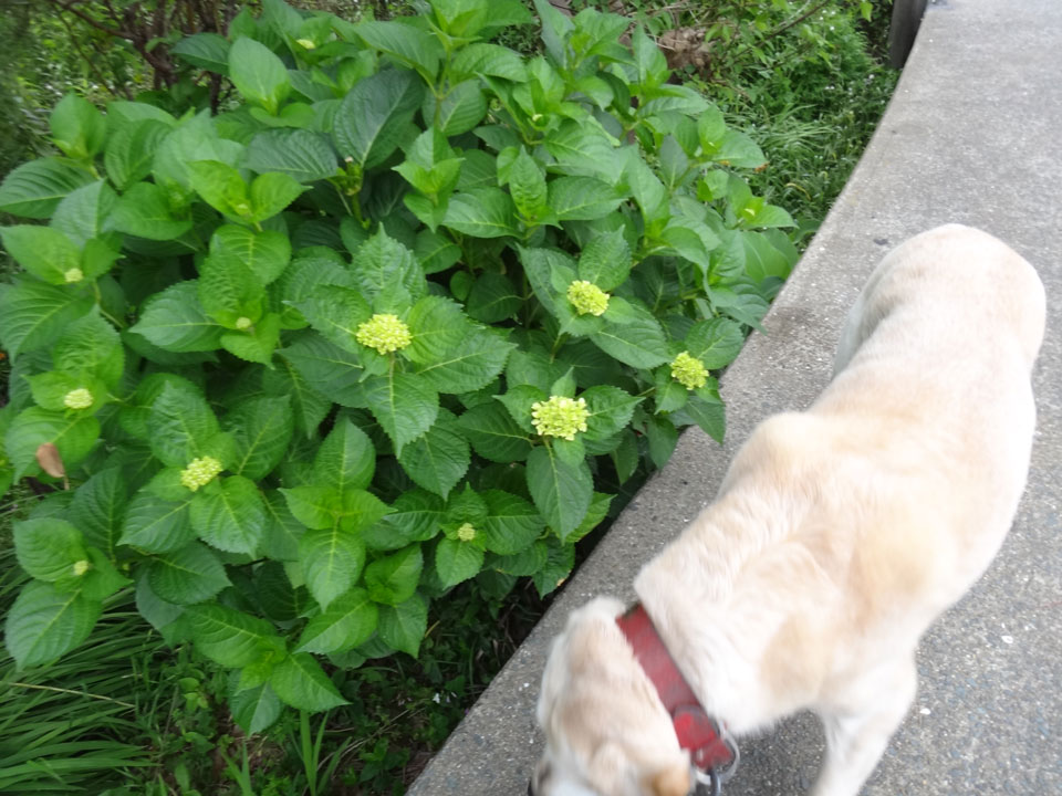株式会社日食 愛犬ナナ ゴールデン ラブラドール レトリバー お散歩 あじさい
