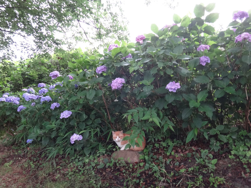 株式会社日食 駕与丁公園(かよいちょうこうえん) 福岡県粕屋郡 粕屋町 猫 ネコ ねこ cat あじさい 紫陽花 アジサイ