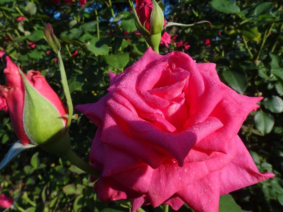 株式会社日食 駕与丁公園(かよいちょうこうえん) 福岡県粕屋郡 粕屋町 バラ 薔薇