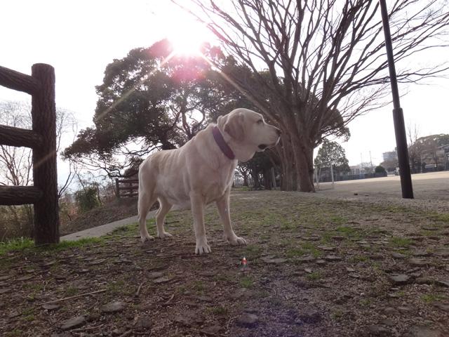 株式会社日食 愛犬ナナ ゴールデン ラブラドール レトリバー 散歩