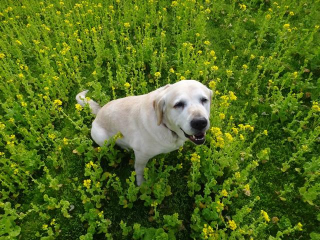 株式会社日食 愛犬ナナ ゴールデン ラブラドール レトリバー 散歩 菜の花
