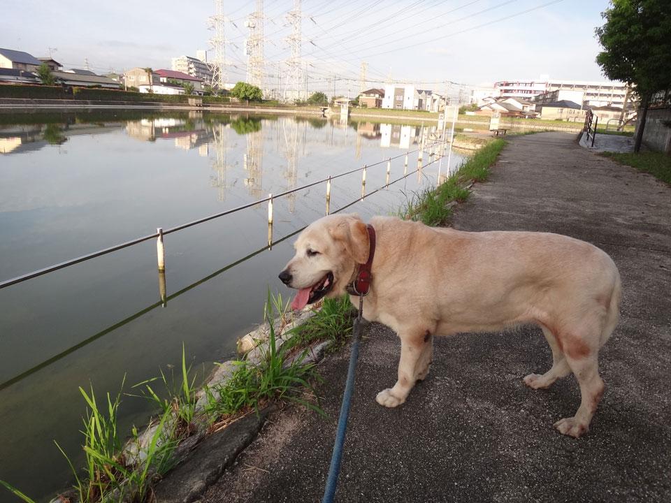 株式会社日食 愛犬ナナ ゴールデンレトリバー ラブラドールレトリバー 散歩