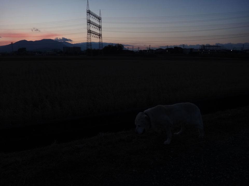 株式会社日食 愛犬ナナ ゴールデンレトリバー ラブラドールレトリバー お散歩 日の出