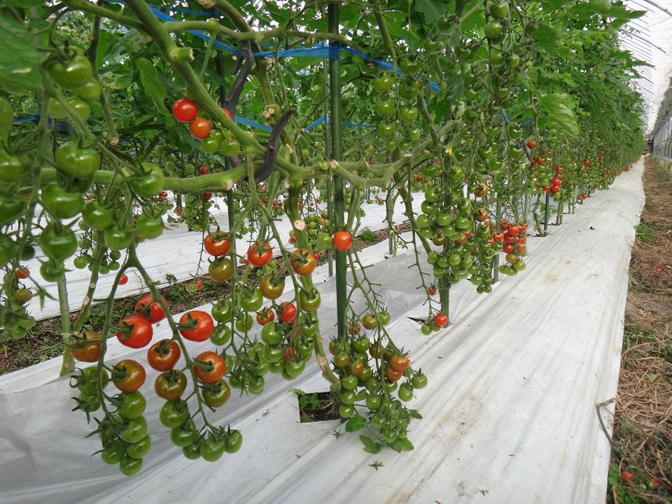 株式会社日食 熊本農業資材㈱ 有機資材 研修 トマト