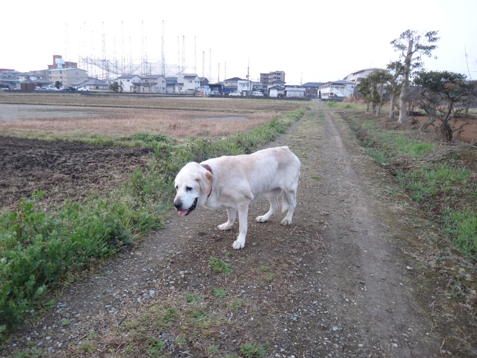 株式会社日食 愛犬ナナ ゴールデンレトリバー ラブラドールレトリバー お散歩