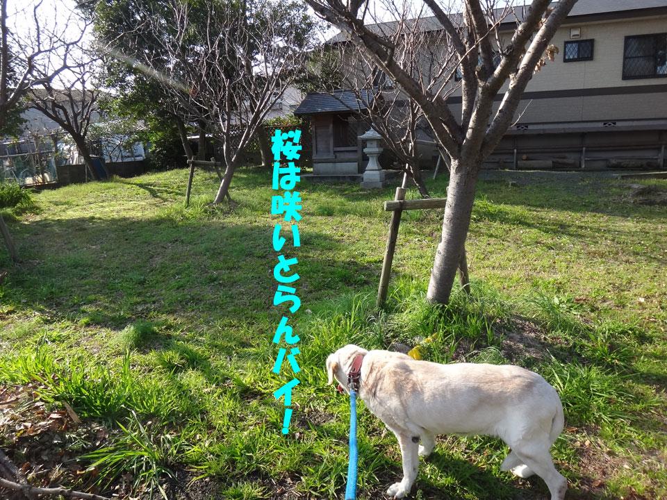 株式会社日食 愛犬ナナ ゴールデンレトリバー ラブラドールレトリバー お散歩 桜
