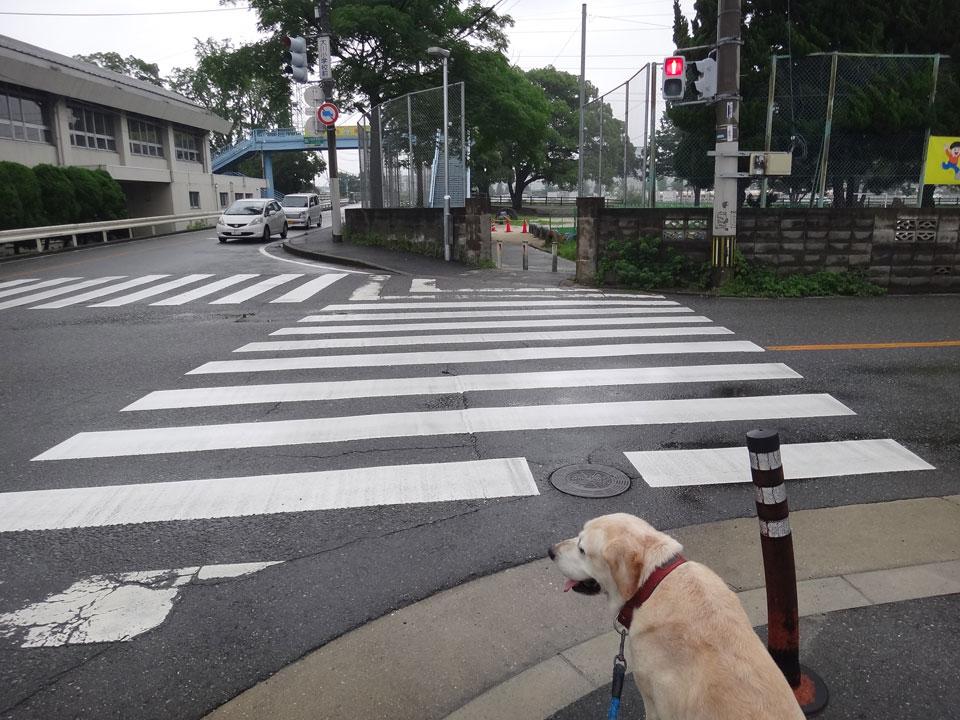 株式会社日食 愛犬ナナ ゴールデン ラブラドール レトリバー お散歩 信号待ち