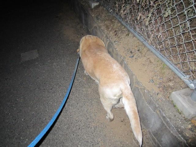 コメショウ 愛犬ナナ ゴールデン ラブラドール レトリバー 散歩