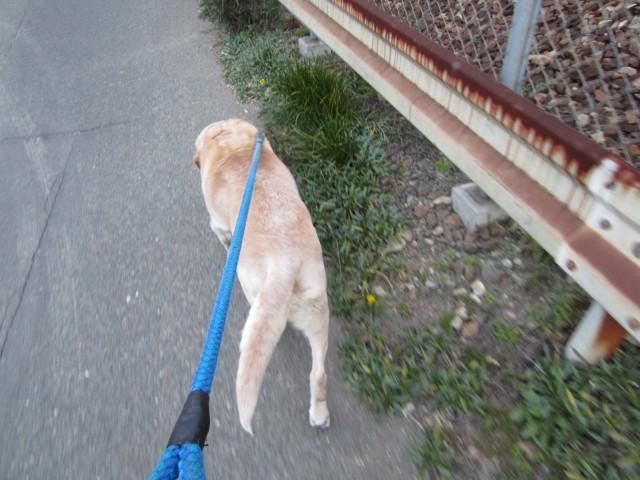 コメショウ 愛犬ナナ 散歩 ゴールデン ラブラドール レトリバー