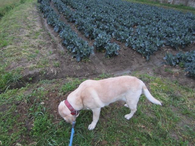 コメショウ 愛犬ナナ ゴールデン ラブラドール レトリバー 散歩 ブロッコリー畑