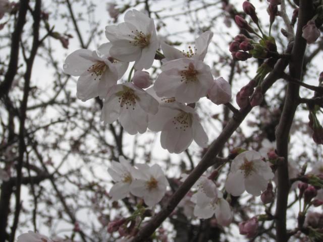 コメショウ 桜 開花