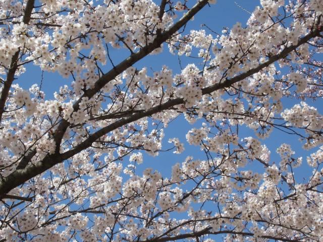 駕与丁公園 福岡県糟屋郡粕屋町 コメショウ 桜
