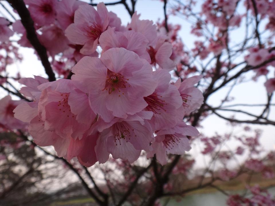 株式会社日食 駕与丁公園(かよいちょうこうえん) 福岡県粕屋郡 粕屋町 さくら 桜