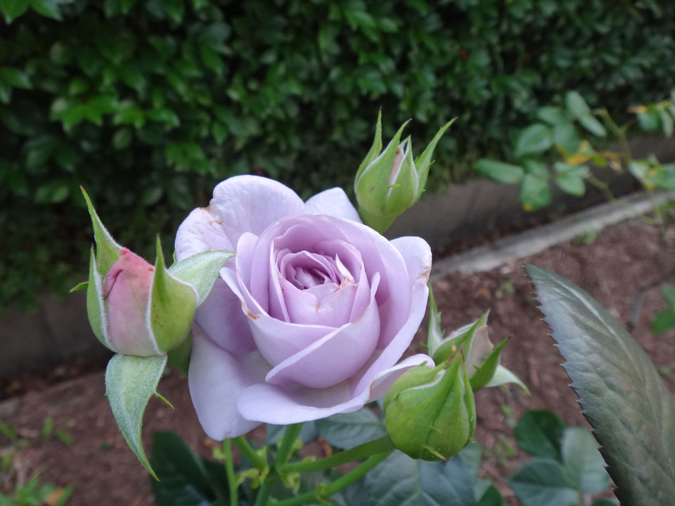 株式会社日食 駕与丁公園(かよいちょうこうえん) 福岡県粕屋郡 粕屋町 薔薇 バラ