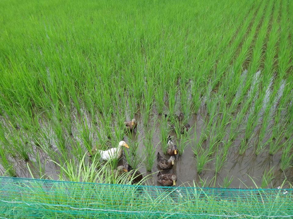 株式会社日食 島根県飯石郡飯南町小田 三上忠 住子 アイガモ米 コシヒカリ 無農薬 無化学肥料 農薬不使用のお米 有効微生物資材てんてん