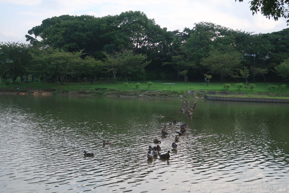 株式会社日食 駕与丁公園(かよいちょうこうえん) 福岡県粕屋郡 粕屋町 水鳥 鴨 カモ