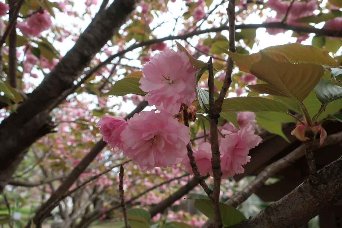 株式会社日食 福岡県糟屋郡粕屋町 八重桜 関山