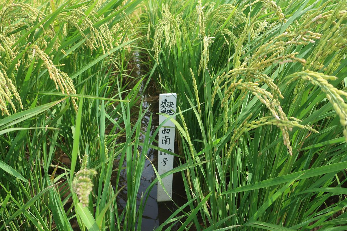 株式会社日食 鹿児島県肝属郡東串良町 令和3年産 新米 試験圃場 採決 現地 西南170号