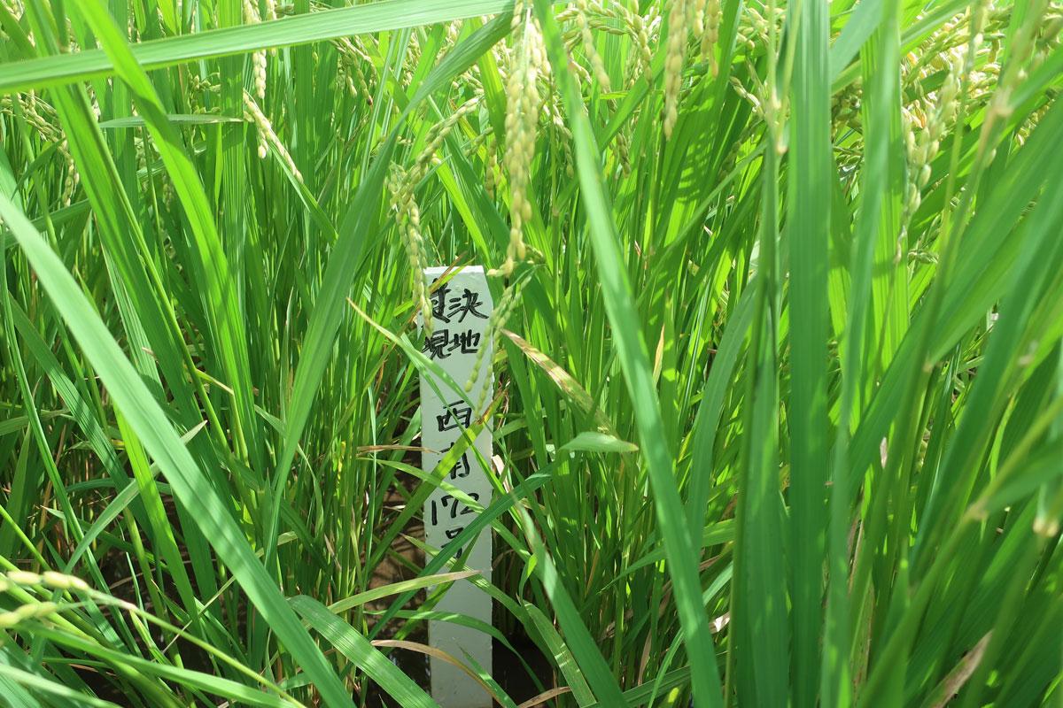 株式会社日食 鹿児島県肝属郡東串良町 令和3年産 新米 試験圃場 採決 現地 西南172号